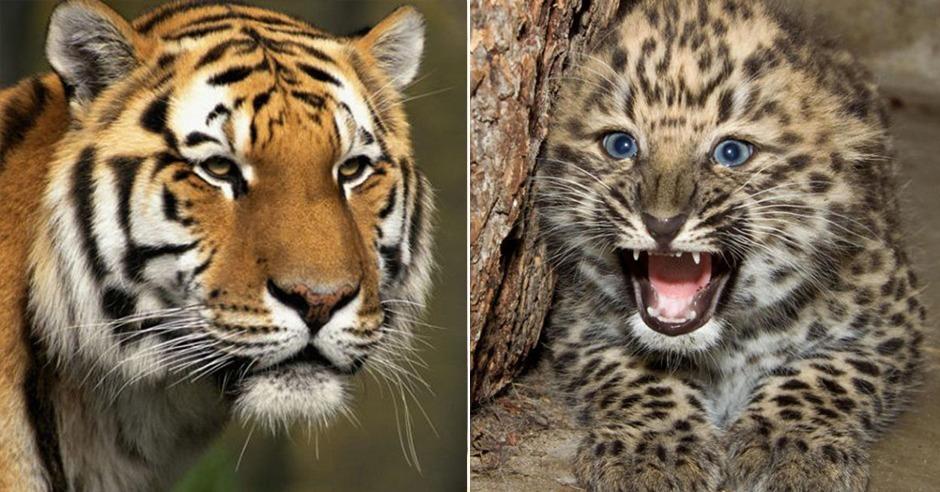 tiger vom aussterben bedroht