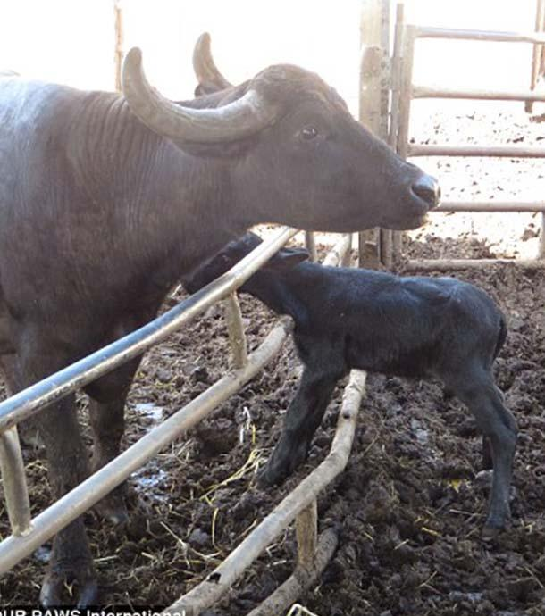 Ekelhaft: Tierschutzorganisation deckt Wahrheit hinter Büffelmozzarella auf