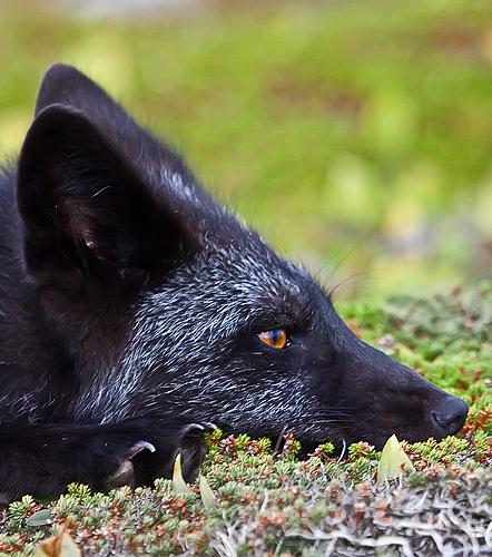 Schwarze Füchse: Bilder eines sehr seltenen Tieres von faszinierender Schönheit!