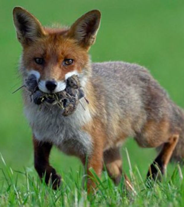 Der Fuchs: 15 Fakten und Bilder zum schlauen Raubtier