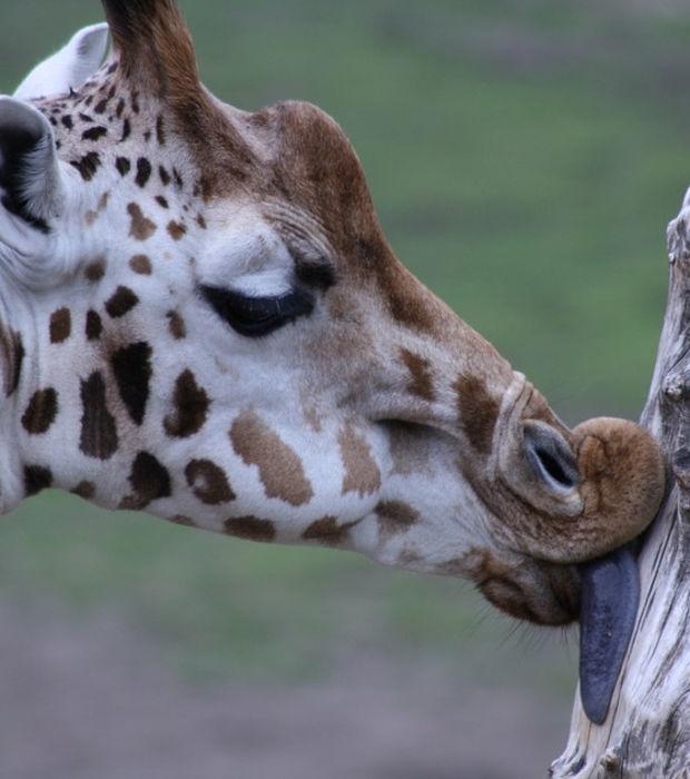 die giraffe 15 fakten und bilder zum tier mit dem langen hals. Black Bedroom Furniture Sets. Home Design Ideas