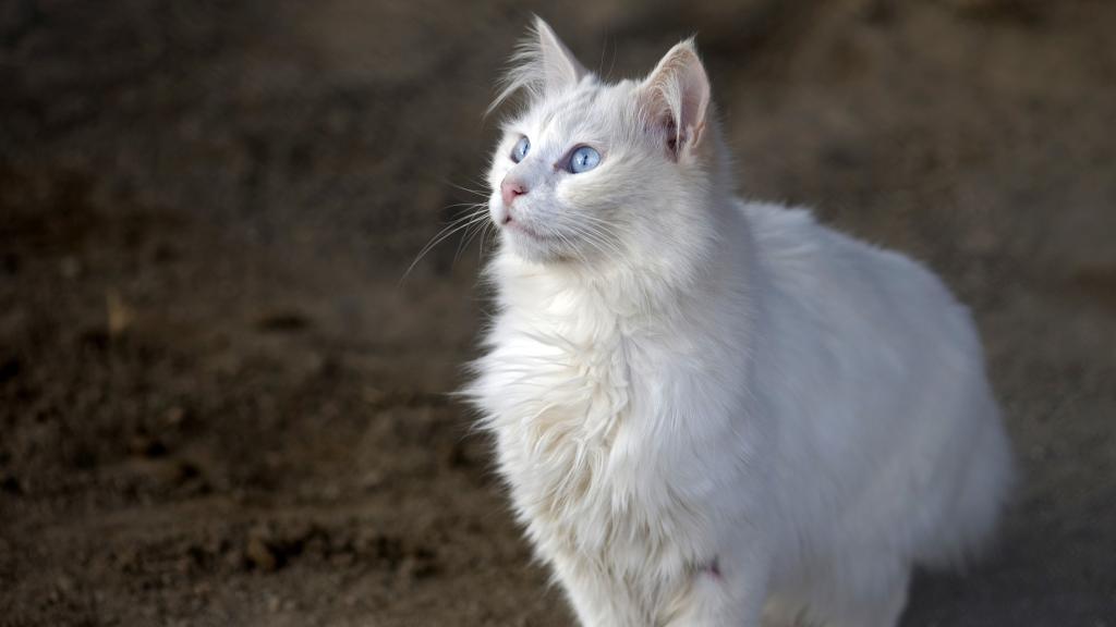 Angora-Katze: Charakter, Preis, Pflege, Herkunft
