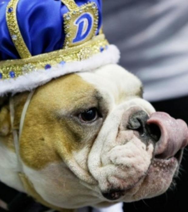 Englische Bulldogge: Alles, was man über sie wissen muss