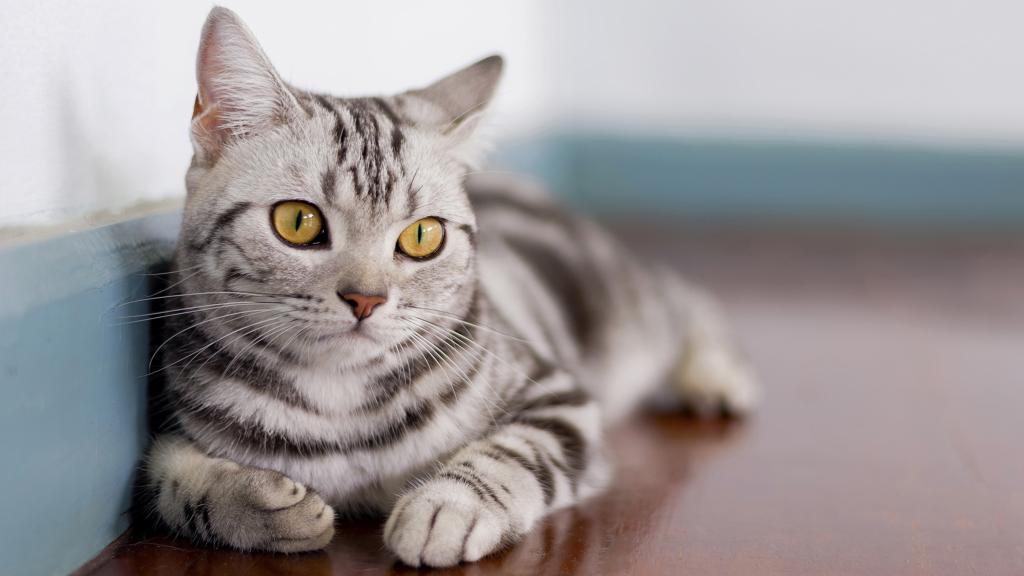 Die American Shorthair Katze: Charakter, Merkmale und Kosten im Überblick