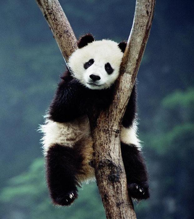 Der Pandabär: 15 Fakten und Bilder eines von Aussterben bedrohten Tieres
