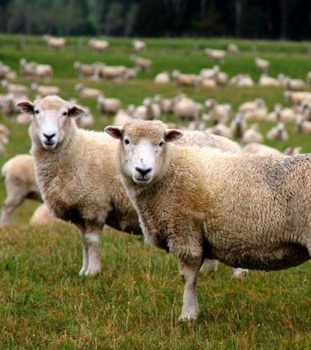 Schafe: Die schönsten Fotos eines goldigen Tieres