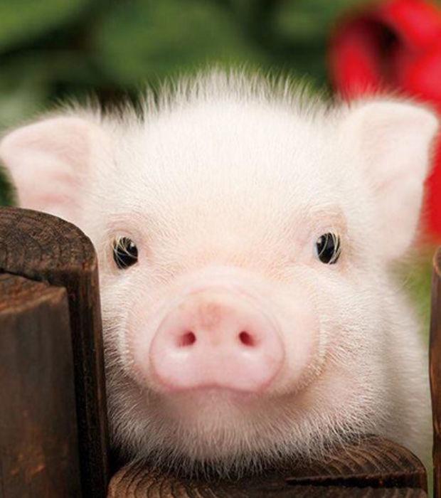Das Schwein: 15 Fakten und Bilder zu einem unterschätzen Tier