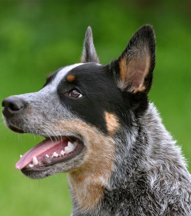 Die 10 intelligentesten Hunderassen