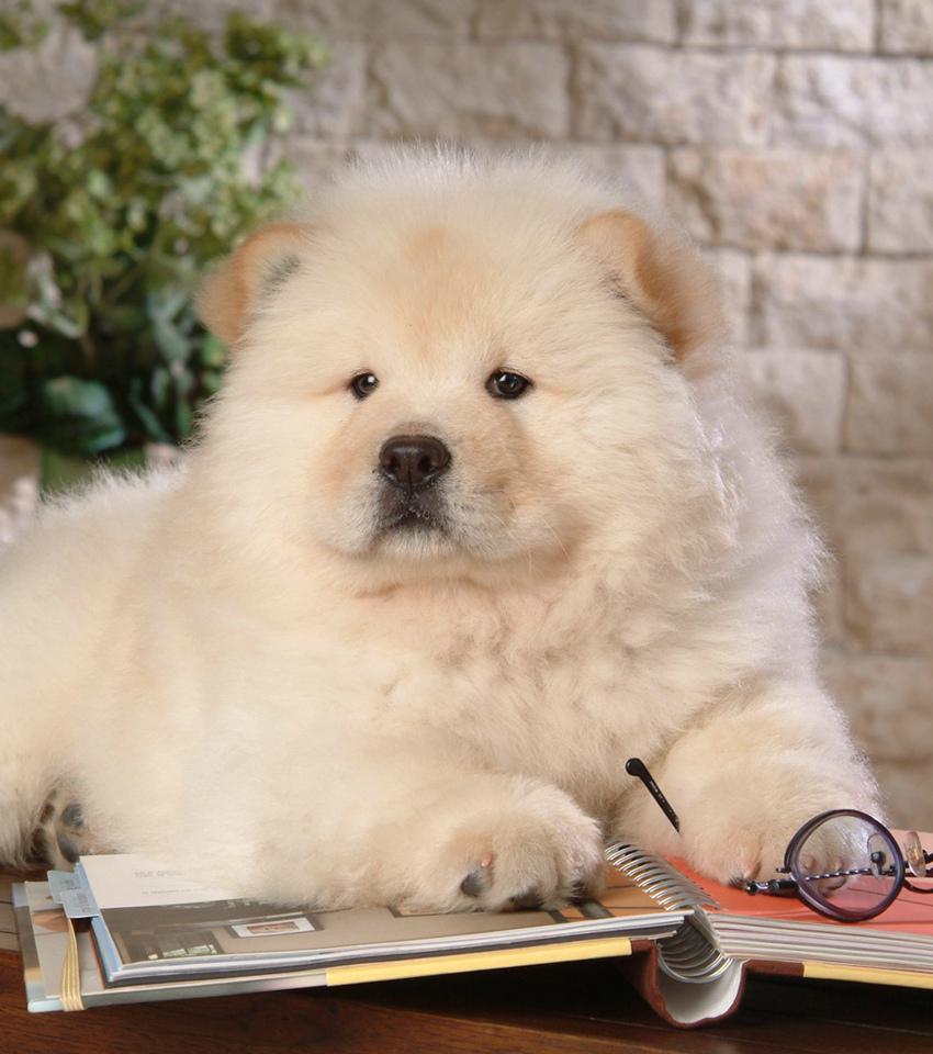Chow Chow: 15 Fakten und Bilder zur süßen Hunderasse