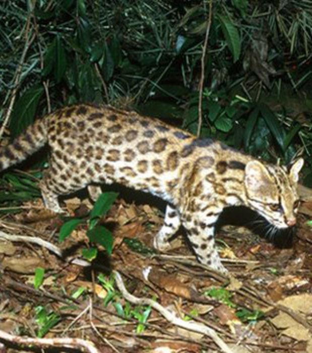 Die 10 faszinierendsten Wildkatzen