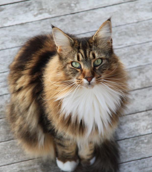 Maine-Coon-Katze: 15 Fakten und Bilder zur beliebten Katzenrasse