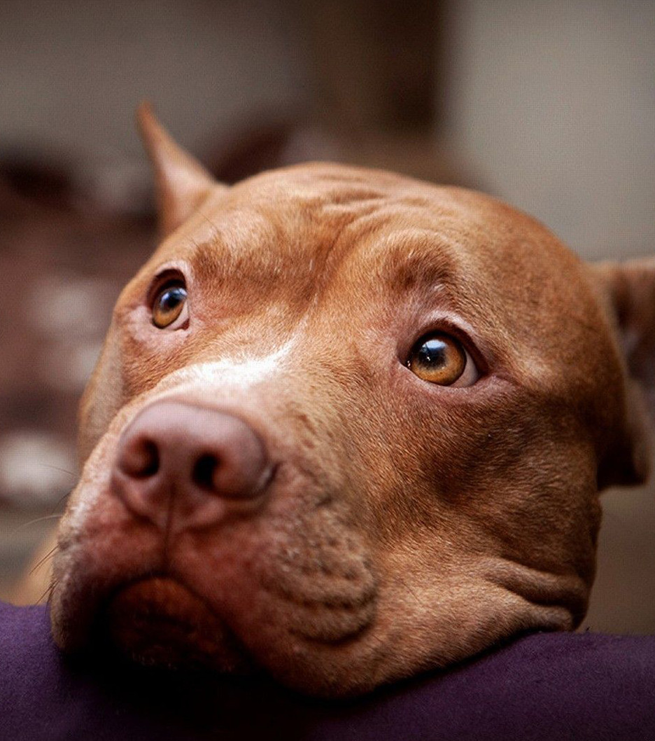 Hund: Was du ganz sicher noch nicht über Pitbulls wusstest!