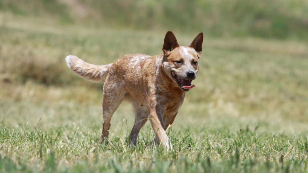 Australian Cattle Dog: Charakter und Wesen, Pflege und Haltung, Preis, Ursprung und Herkunft