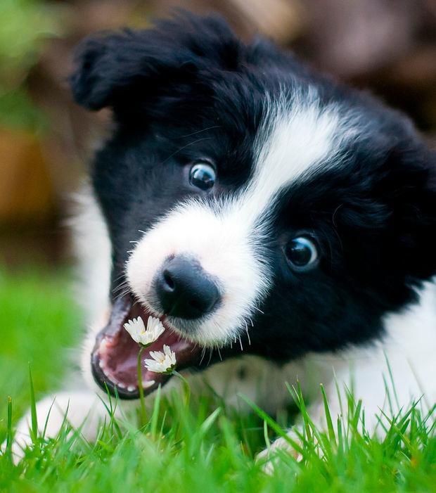 Border Collie: 18 wichtige Fakten und Bilder zur loyalen Hunderasse