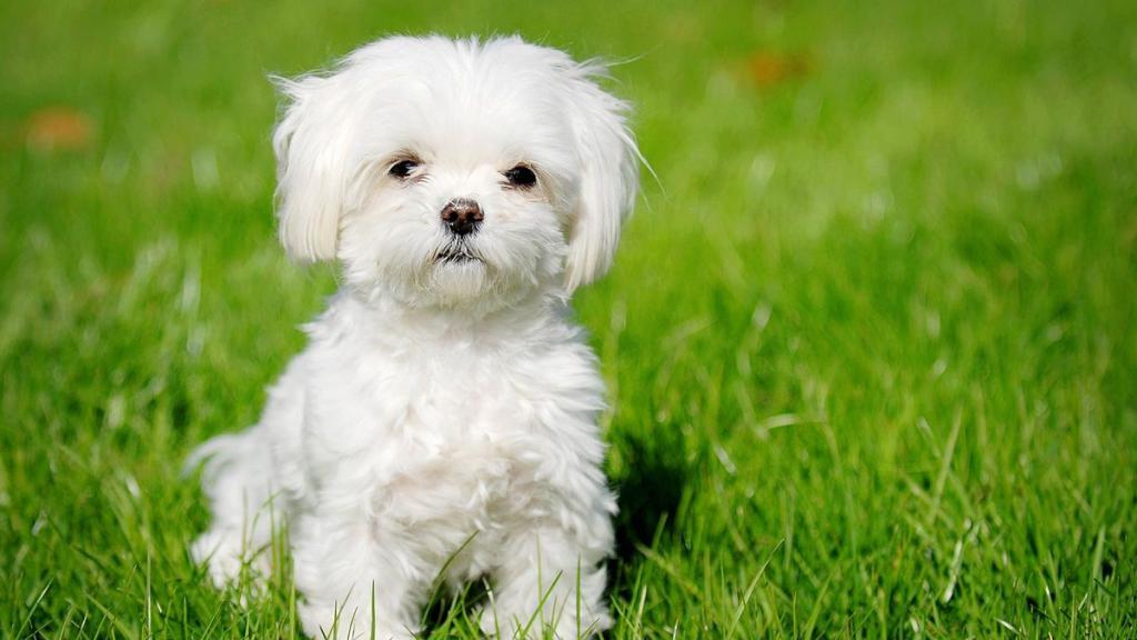 Der Malteser: Charakter, Eigenschaften und Preis des Hundes