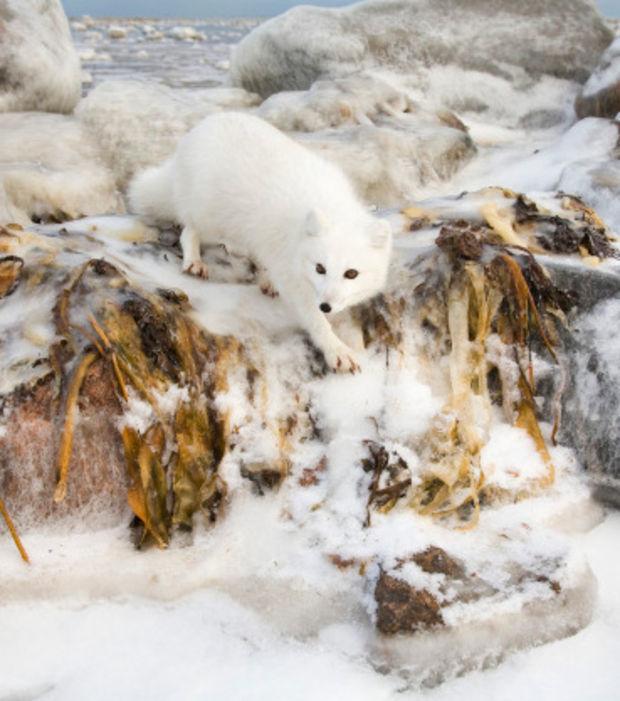 Der Polarfuchs: ein faszinierendes Tier, das sich den Lebensbedingungen der eisigen Arktis angepasst hat