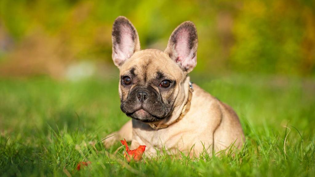 Französische Bulldogge: Wesen und Charakter, Erziehung und Haltung, Preis, Herkunft