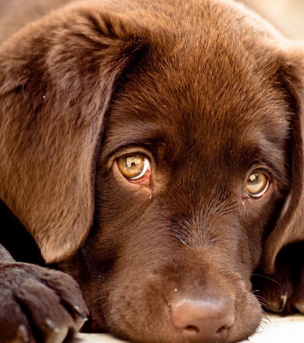 Labrador: Charakter und Erziehung des Hundes