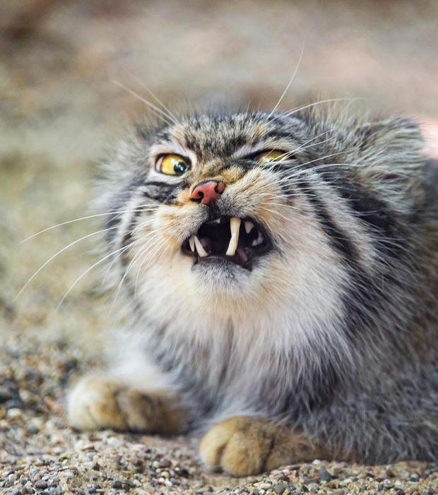Der Manul oder die Pallaskatze, diese kleine Wildkatze Zentralasiens, ist ein außergewöhnliches Tier