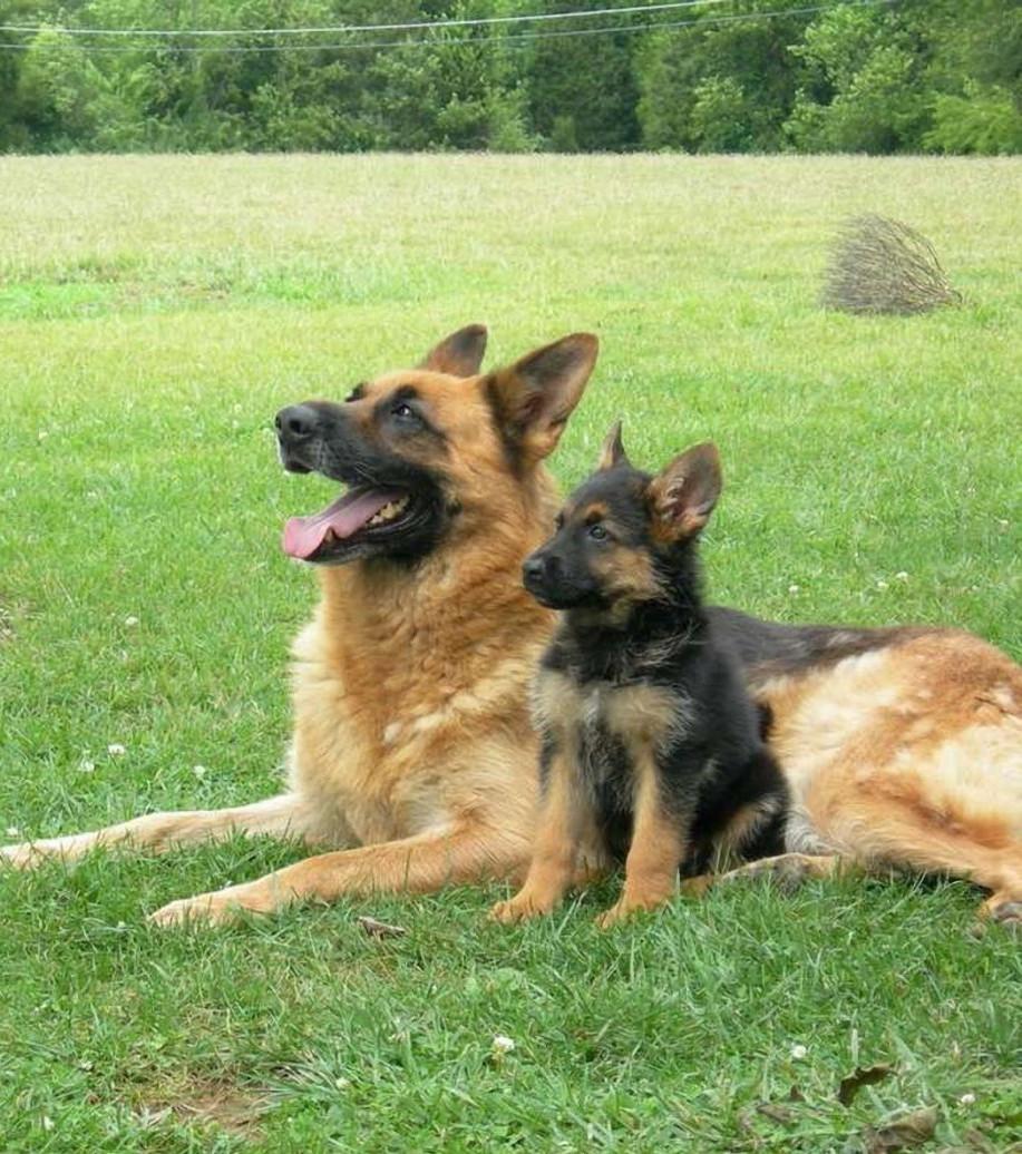 Der deutsche Schäferhund: 15 Fakten zum liebevollen Wachhund