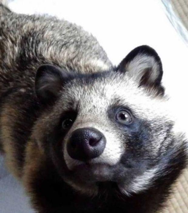Verliebt euch in den süßen Tanuki, der einem Waschbären zum verwechseln ähnlich sieht