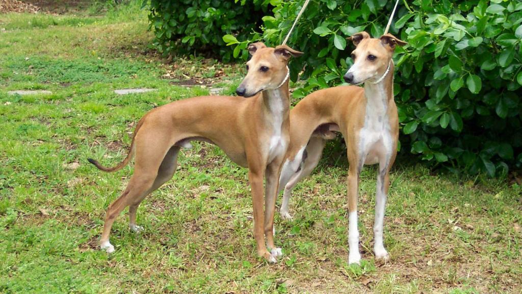 Der Windhund: Kosten, Charakter, Haltung, Erziehung, Herkunft