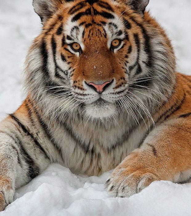 Tiger: Die schönsten Fotos eines vom Aussterben bedrohten Tieres