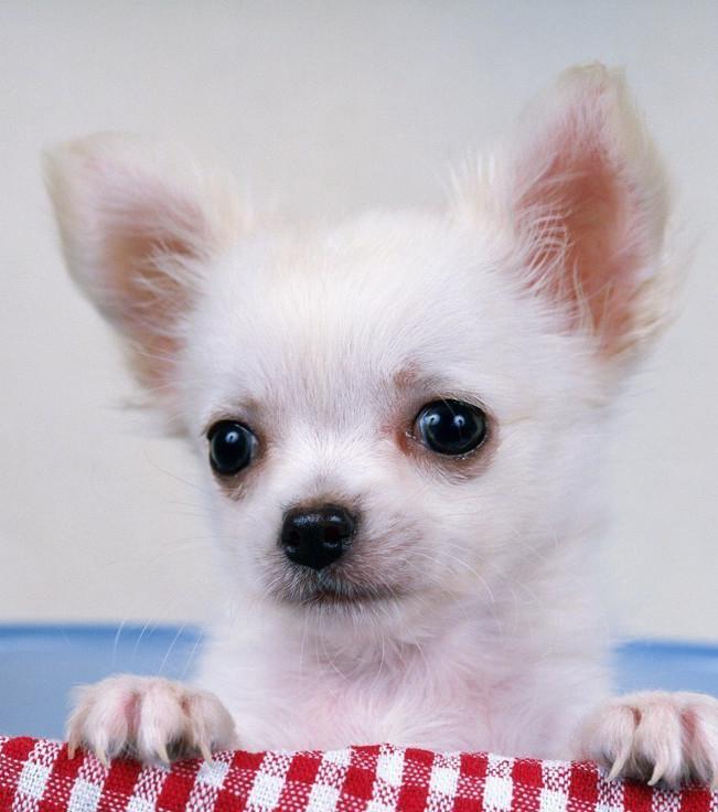 Chihuahua: Alles was man über sie wissen sollte