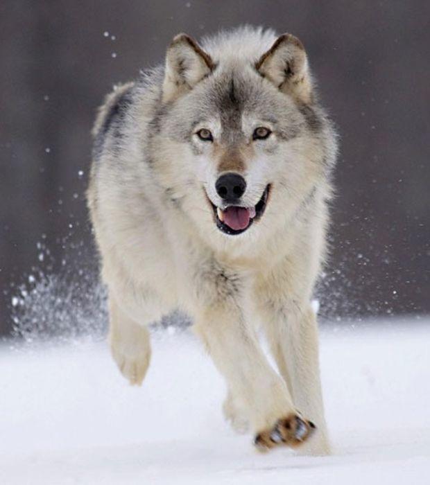 15 wunderbare Aufnahmen von Wölfen, die euch für dieses wunderbare Tier begeistern lassen