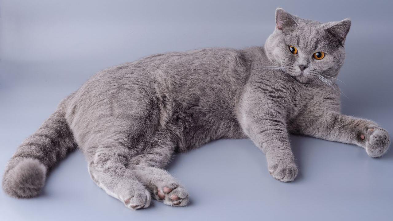 Die Britisch Kurzhaar Katze: Herkunft, Charakter, Pflege, Preis