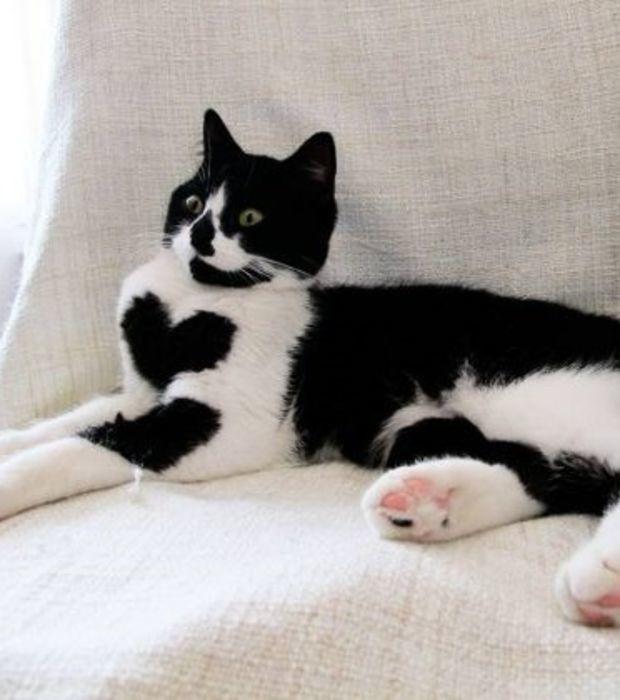 zo die schwarz wei e katze mit dem herzf rmigen fleck auf der brust. Black Bedroom Furniture Sets. Home Design Ideas
