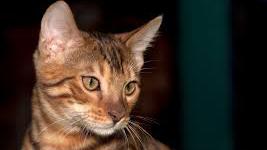Die Bengalkatze: Herkunft, Preis, Charakter, Haltung