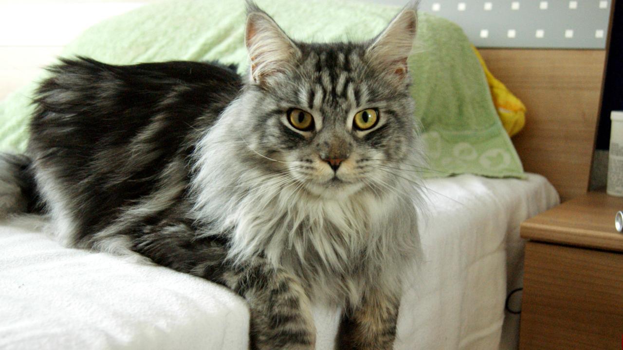 Maine Coon Katze: Preis, Charakter, Haltung, Erziehung, Herkunft