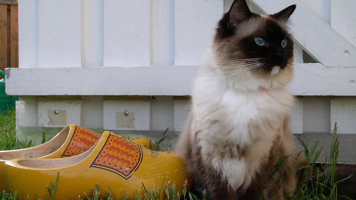 Die Ragdoll-Katze: Herkunft, Charakter, Preis, Ernährung und Pflege
