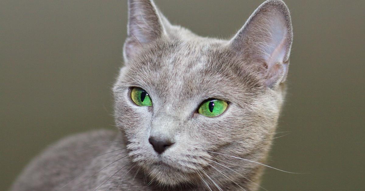 Wissenswertes über die Russisch Blau Katze: Ursprung und Herkunft, Charakter und Wesen