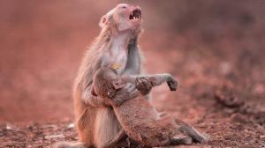 Affen Mutter Hält Leblosen Körper Ihres Babys Umklammert Und Rührt