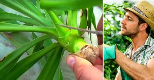 Yucca Palmen Vermehren Und Umpfanzen So Geht S