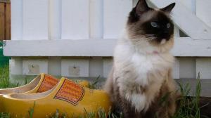 Eine Ragdoll-Katze