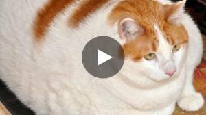 Dicke Katze Das Sind Die Dicksten Katzen Der Welt