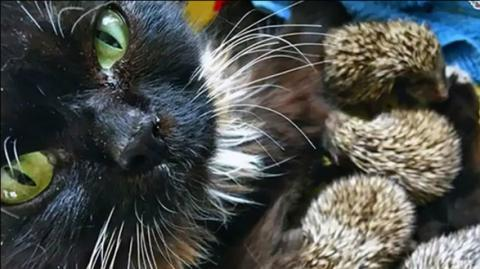 Eine Katze adoptiert acht verwaiste Igelbabys