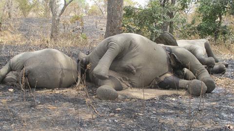 Tierschützer kochen vor Wut, als sie diese Elefanten entdecken