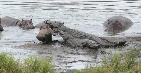 Spektakuläre Rettung: Flusspferde schützen ein Gnu vor Krokodilen