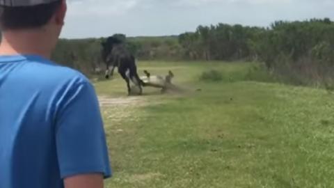 Sie filmen wie ein Pferd versucht, sich gegen einen Alligator zu verteidigen