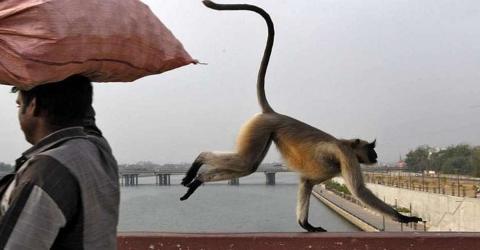 Indische Polizei sucht einen Affen, der eine furchtbare Tat begangen hat