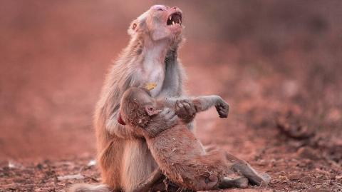 Affen-Mutter hält leblosen Körper ihres Babys umklammert und rührt Millionen zu Tränen
