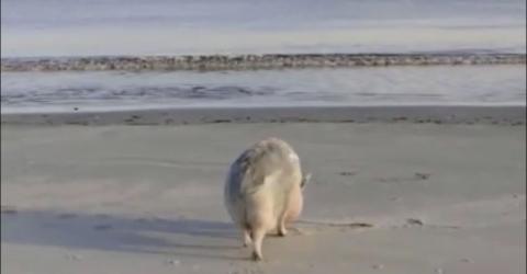 Auch Schweine brauchen im Sommer eine Abkühlung am Strand
