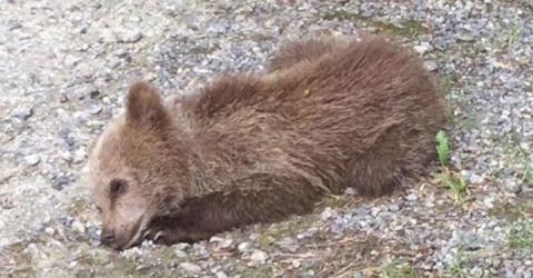 Ausgewildertes Bärenbaby: Die Wildnis war zu viel für Mellous