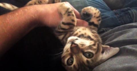 Diese kleine Bengalkatze liebt es, am Bäuchlein gekrault zu werden
