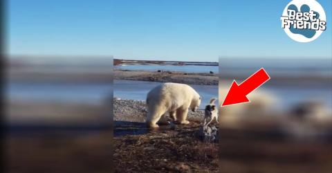 Dieser Eisbär nähert sich dem angeketteten Schlittenhund. Doch mit seiner Reaktion hat keiner gerechnet!