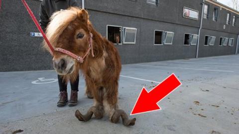 Das Pony wurde so schlimm misshandelt, dass es nicht mehr richtig laufen kann. Doch dann...
